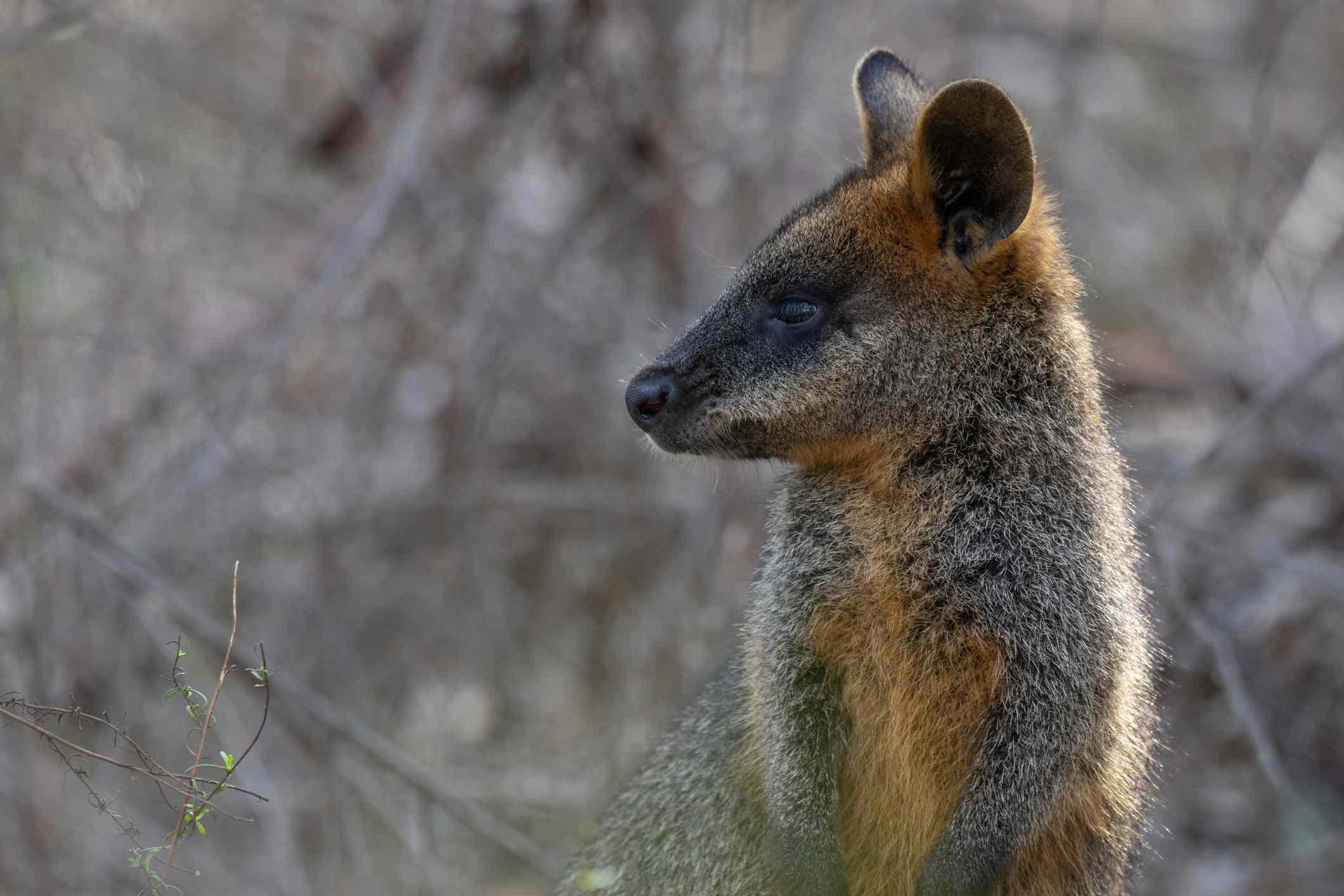 A swamp wallaby in Bendigo, Australia.