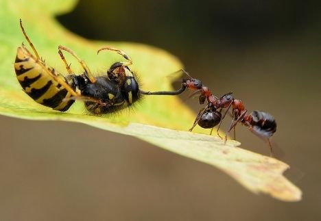 ants wasp pulling photo