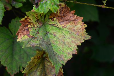 A close-up of a grapevine leaf with yellow and brown patches infected by grapevine fungal disease downy mildew.
