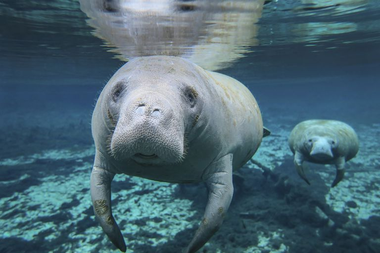 A pair of manatees swimming in Fanning Springs State Park, Florida.
