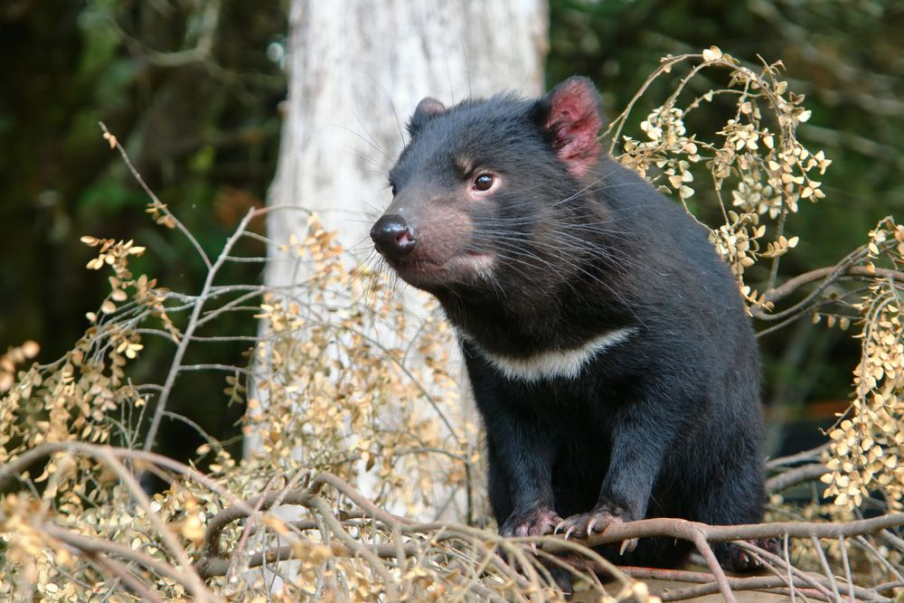 Tasmanian devils have had it rough with a contagious cancer that started around 1996.