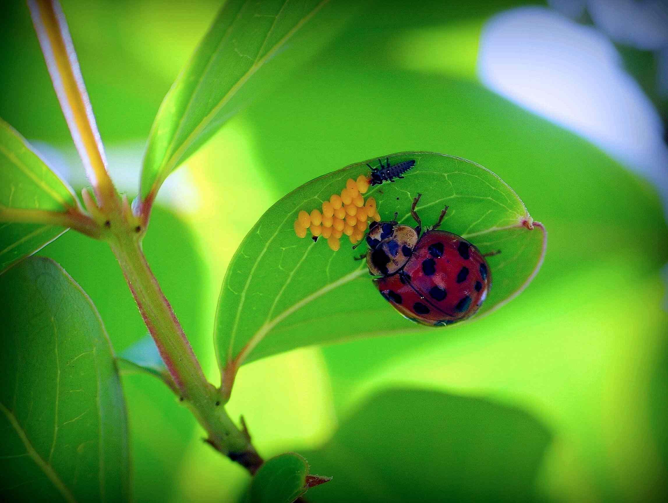 ladybug on underside of leaf tending to its eggs