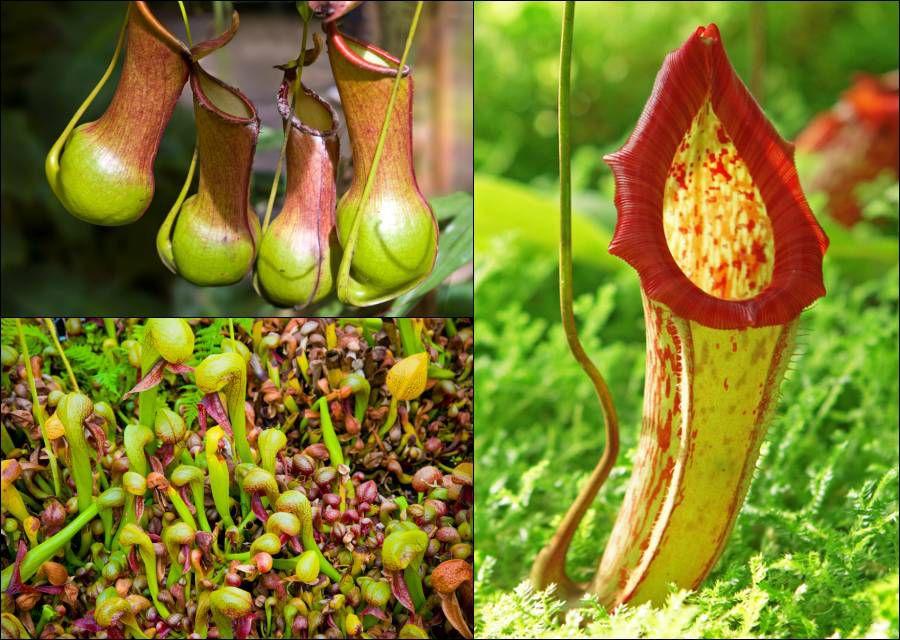 Carnivorous plants: Pitcher plants