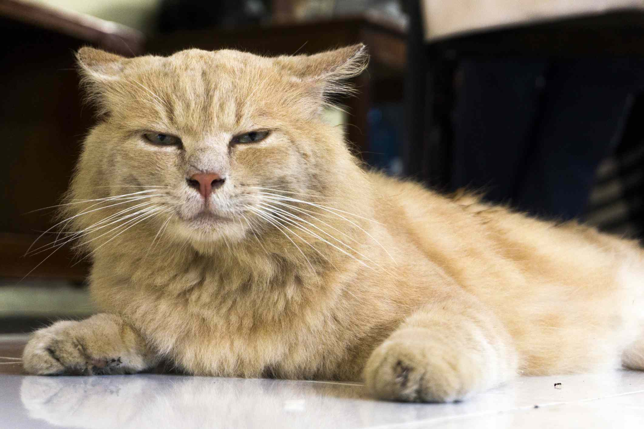 Ginger cat with narrowed eyes and flattened ears