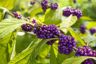 Detailed shot of purple berries on an American Beautyberry tree.