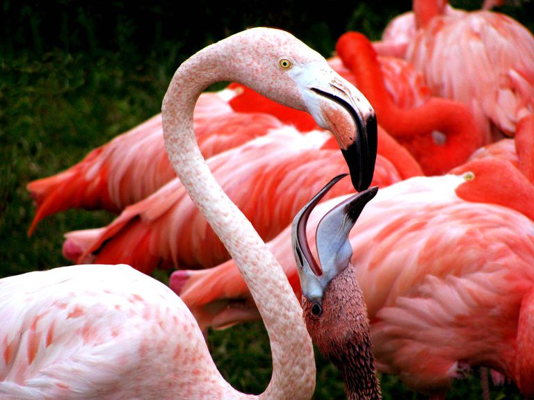 Parent flamingo feeding baby