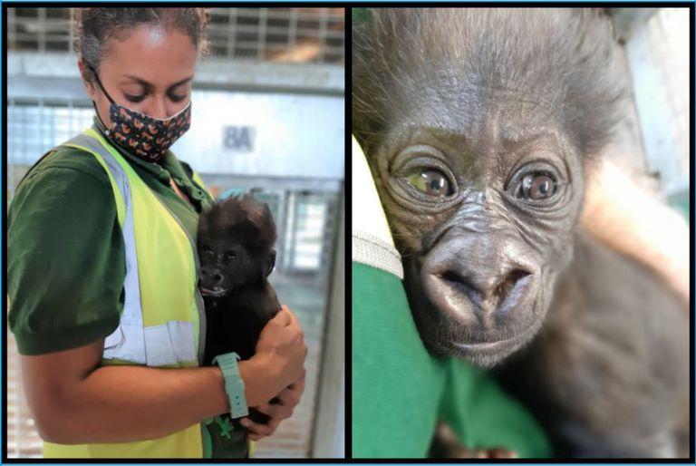western lowland gorilla with keeper at Bristol Zoo gardens