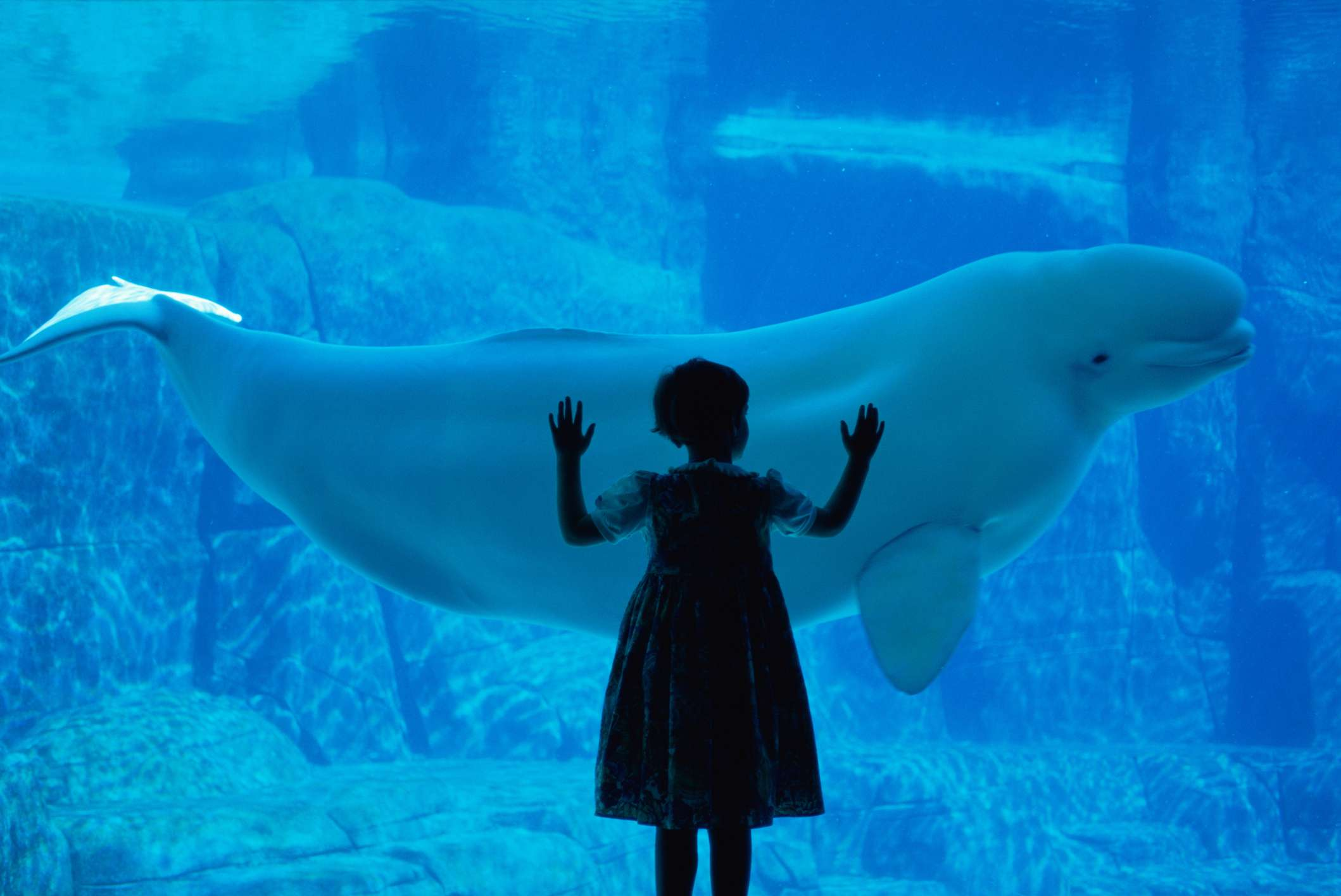 young girl standing against a glass aquarium enclosure with a white beluga whale swimming past at Vancouver Aquarium