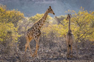 Two Nubian giraffes standing in a field of acacia trees.