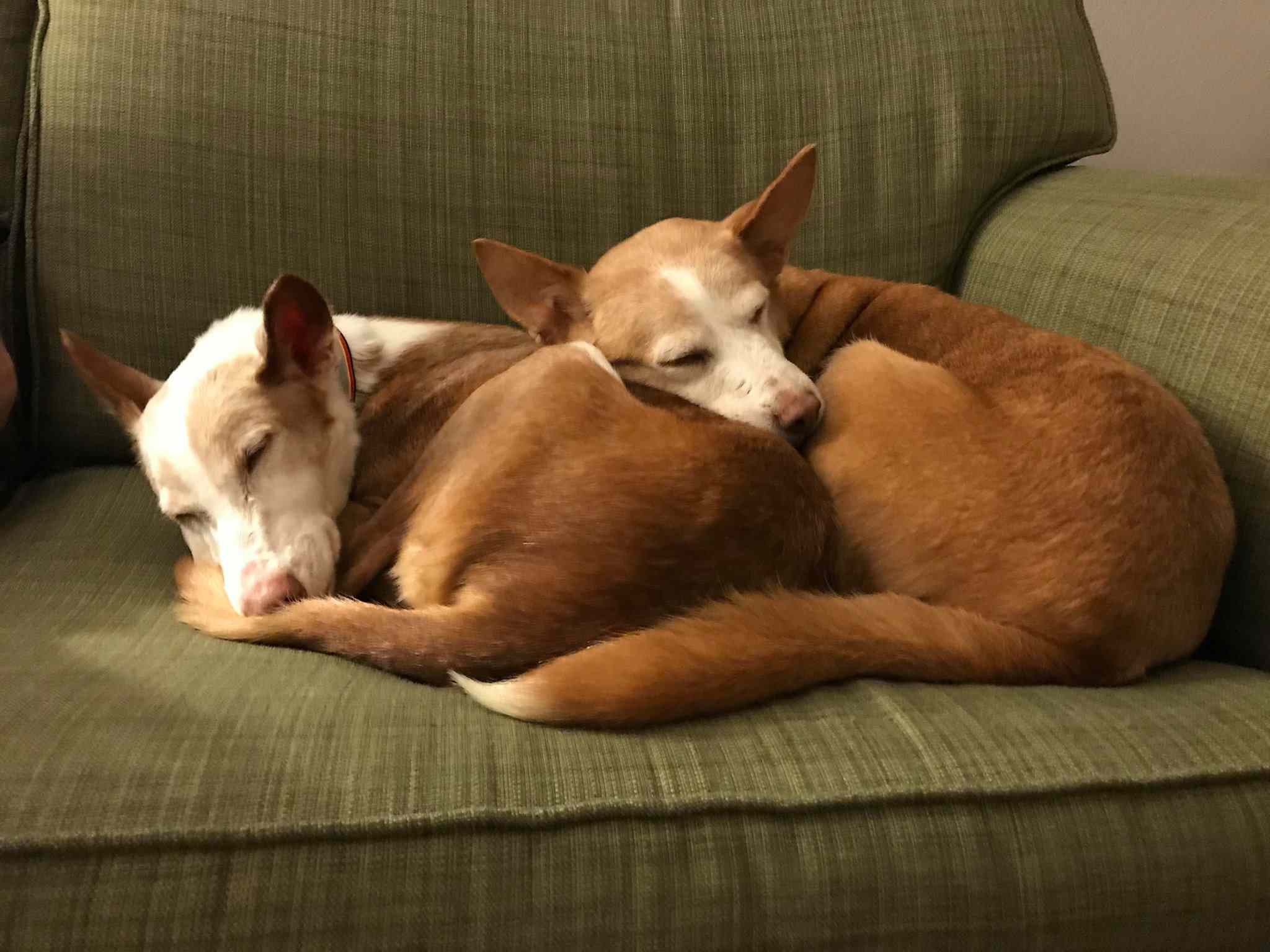 Podenco dogs sleeping on couch.