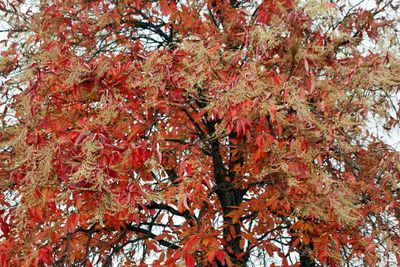 Sourwood tree peaking with red leaves.