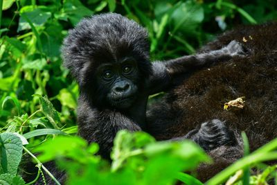 Baby mountain gorilla in Bwindi Impenetrable National Park in Uganda