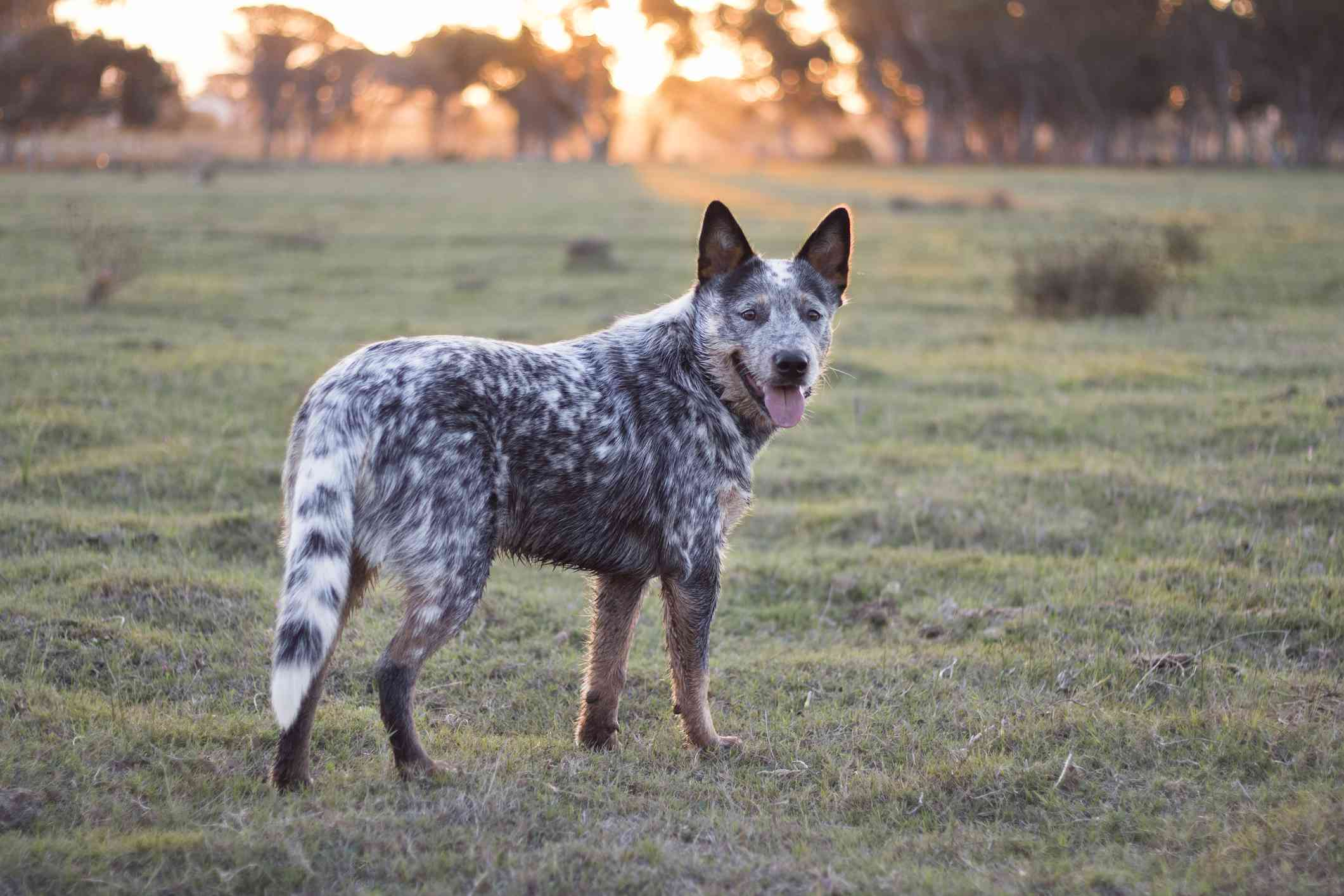 australian cattle dog standing in field at sunset looking back at camera