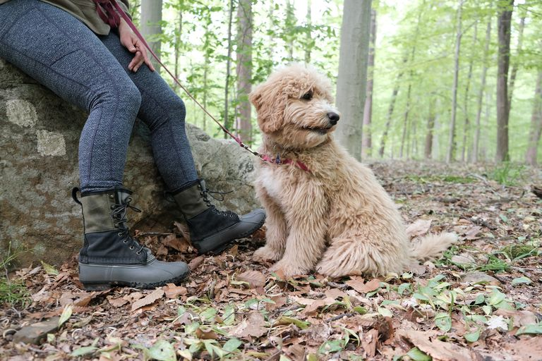 fluffy tan doodle dog sits at owner's feet in forest ready for hike