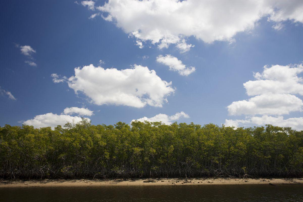 Mangrove in Florida