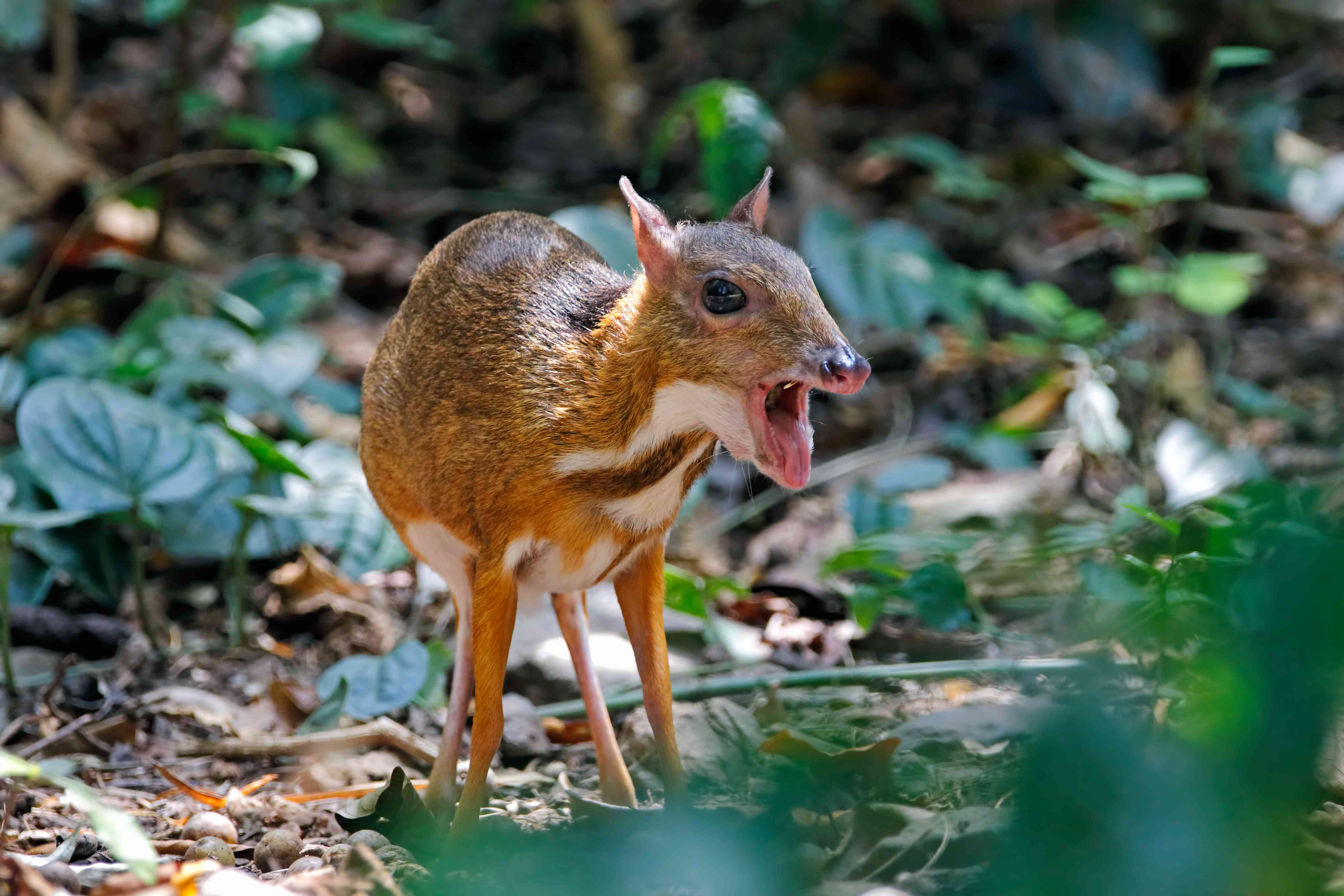 Lesser mouse-deer Tragulus kanchil in the forest