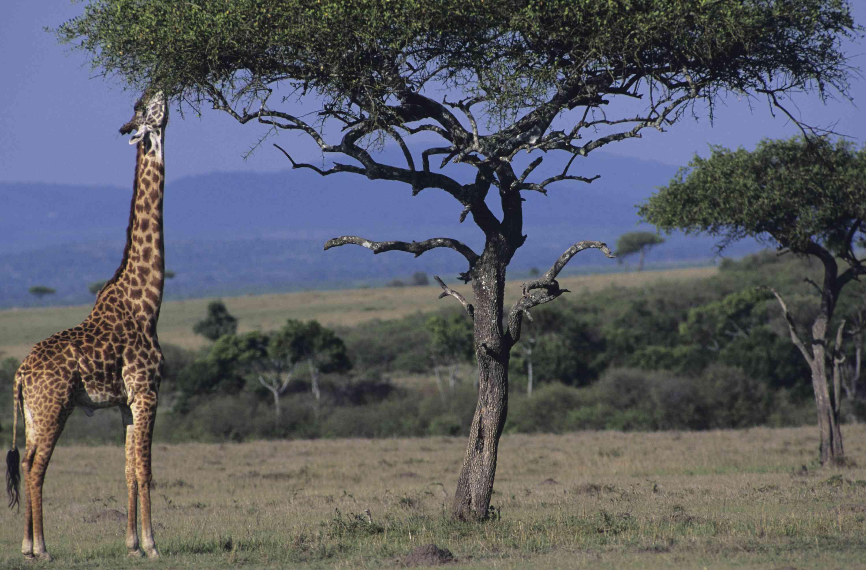 Masai giraffe in Kenya reaching up to eat leaves from a tree
