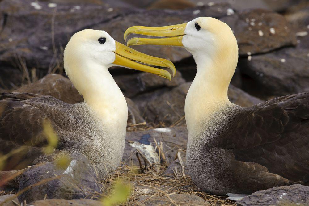 pair of albatrosses