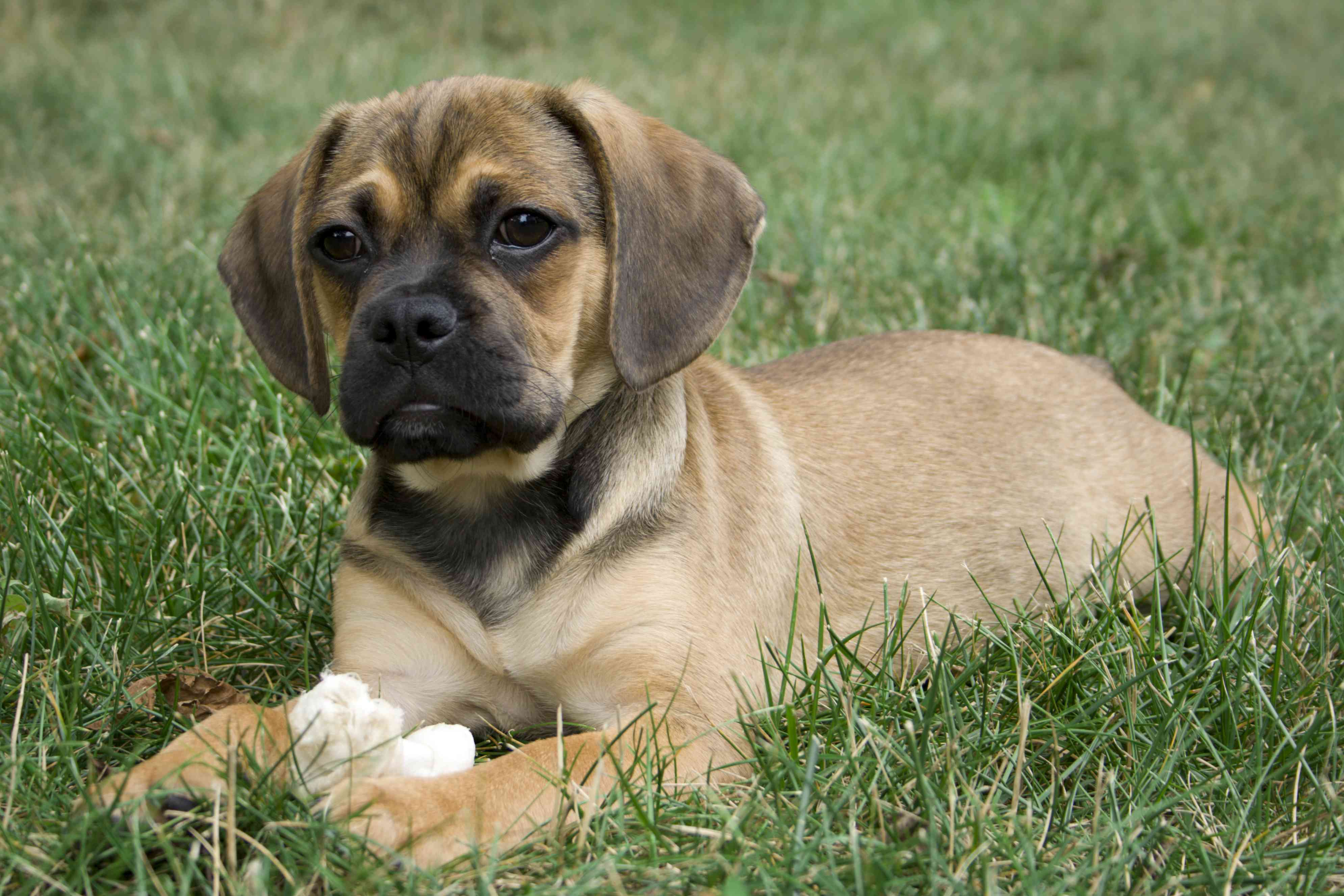 Puggle dog lying in grass with toy