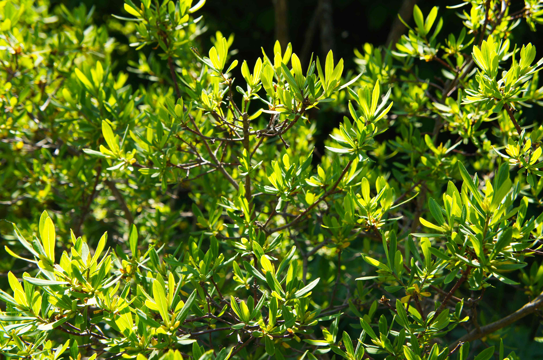 Myrica pensylvanica or bayberry green plant in sunlight