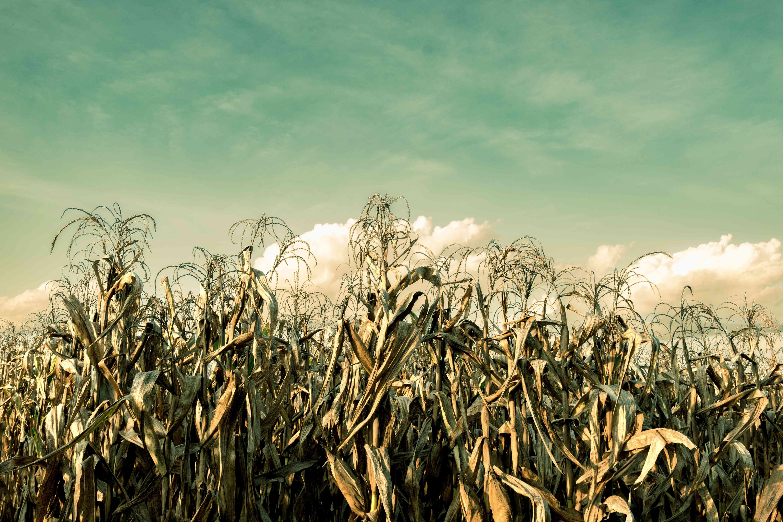 Dried up corn field