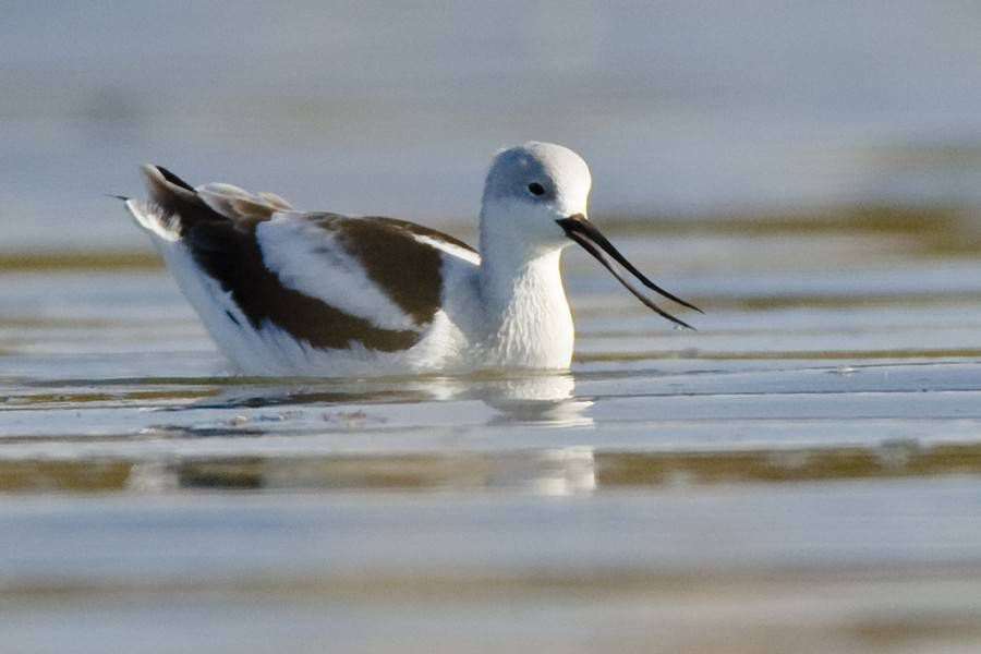avocet on the water