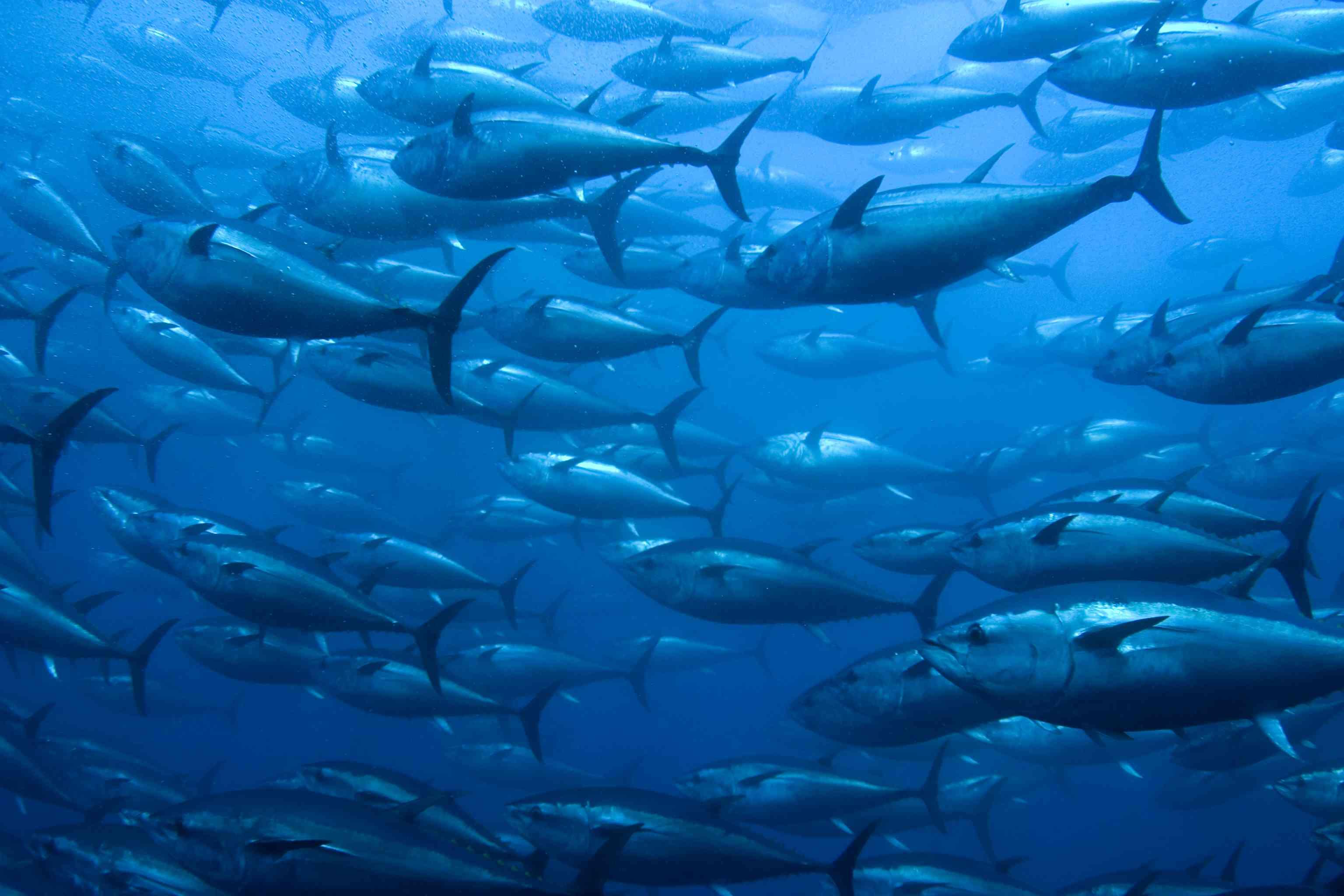 Bluefin Tuna swimming in a net.