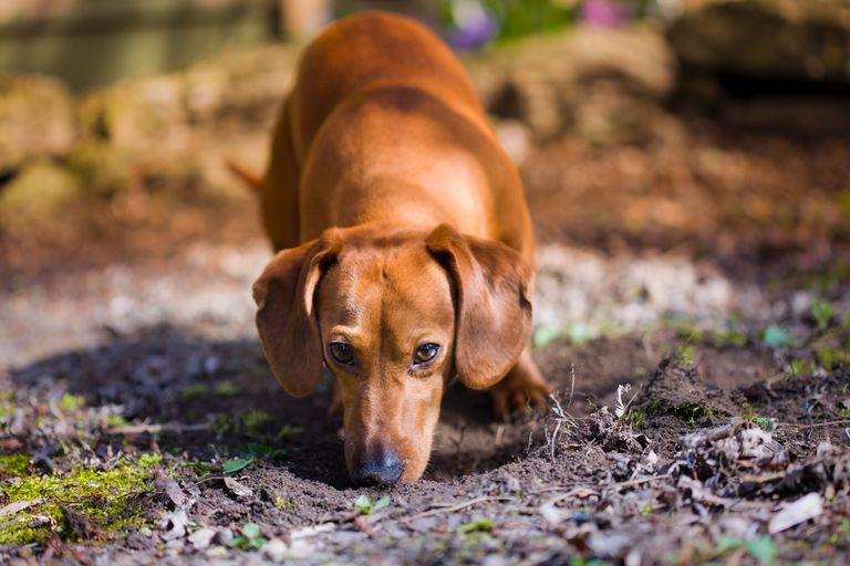 Dog sniffing dirt