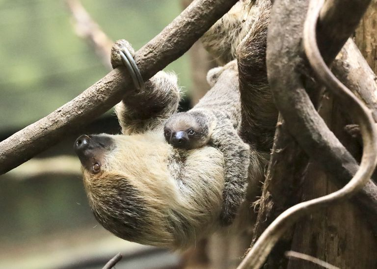 Truffle the baby sloth clings to its mother