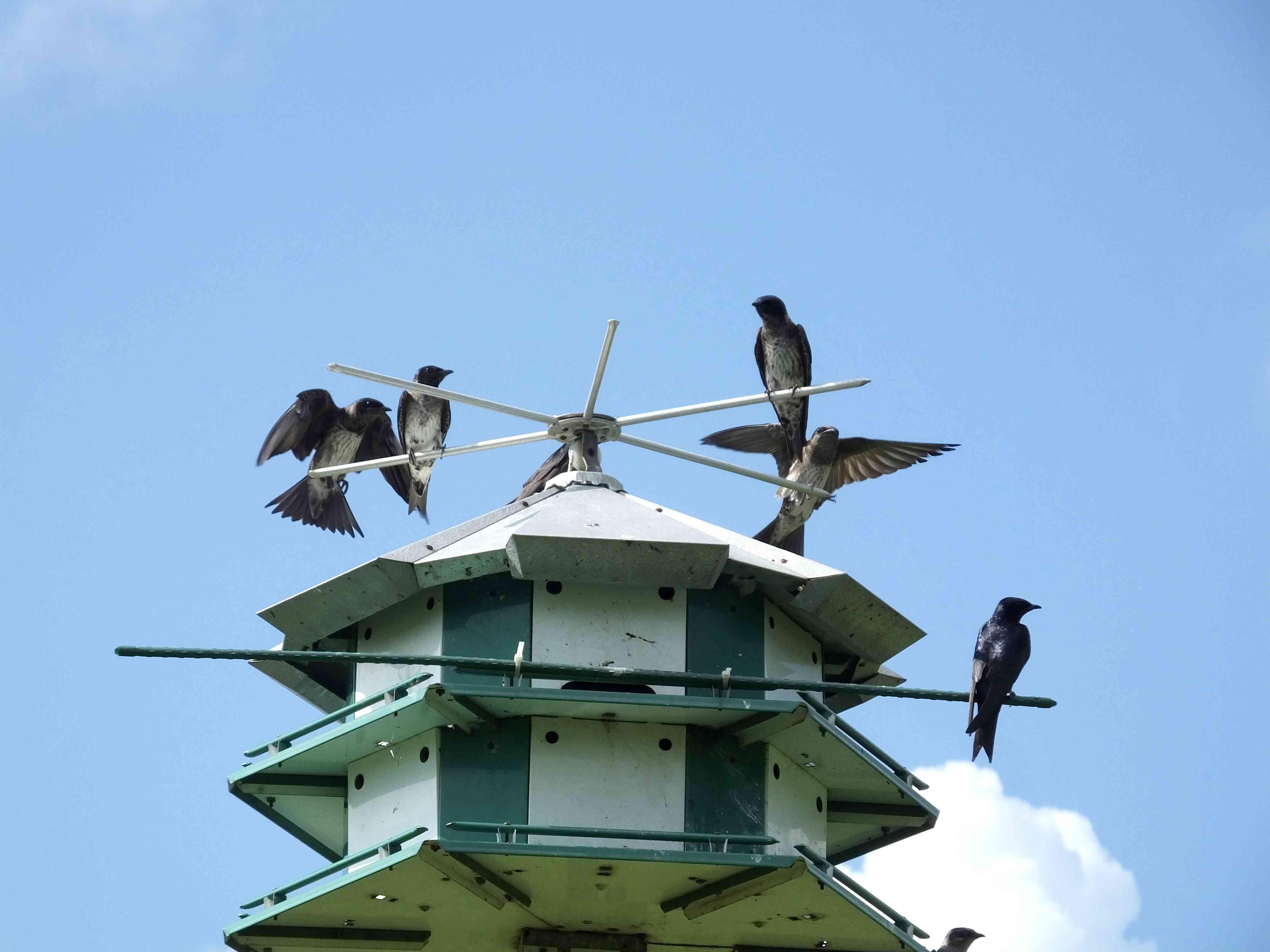 purple martins on birdhouse roof