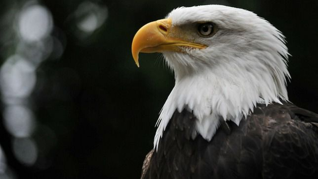 Bald Eagles Starting A Family In New York City