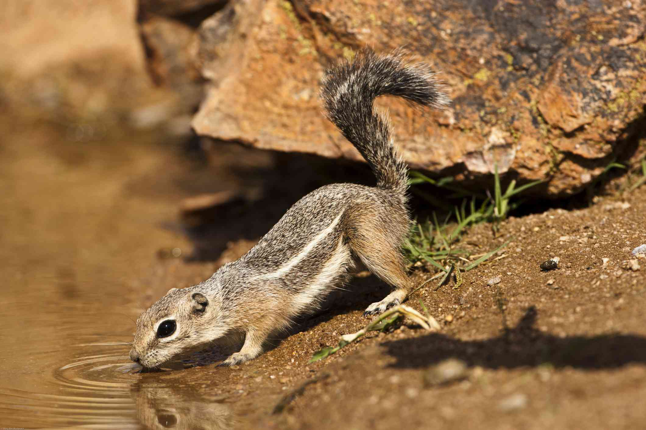 profile of brown antelope squirrel drinking from stream