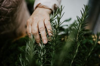 Elderly woman touches and harvest the rosemary