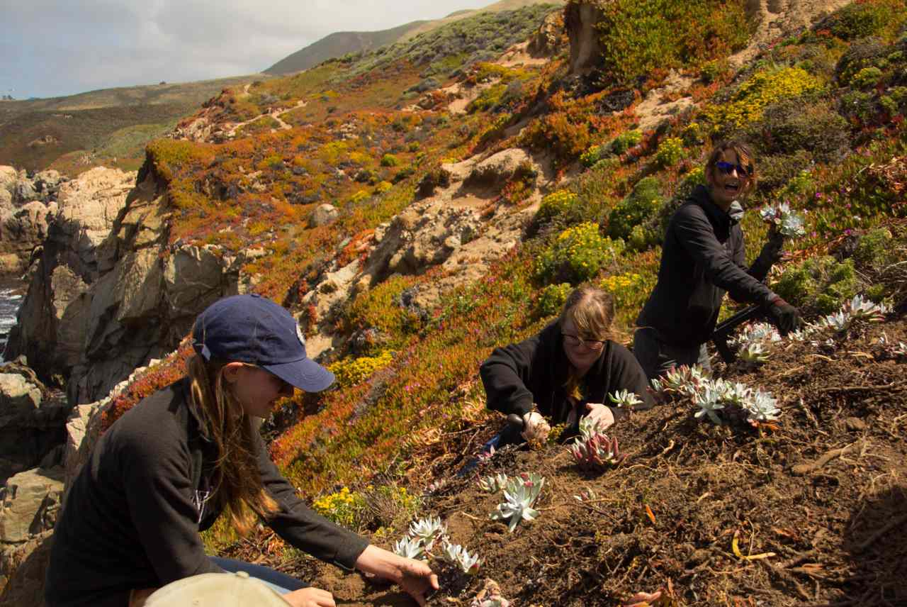 replanting Dudleya farinosa on a cliff in Monterey County, California