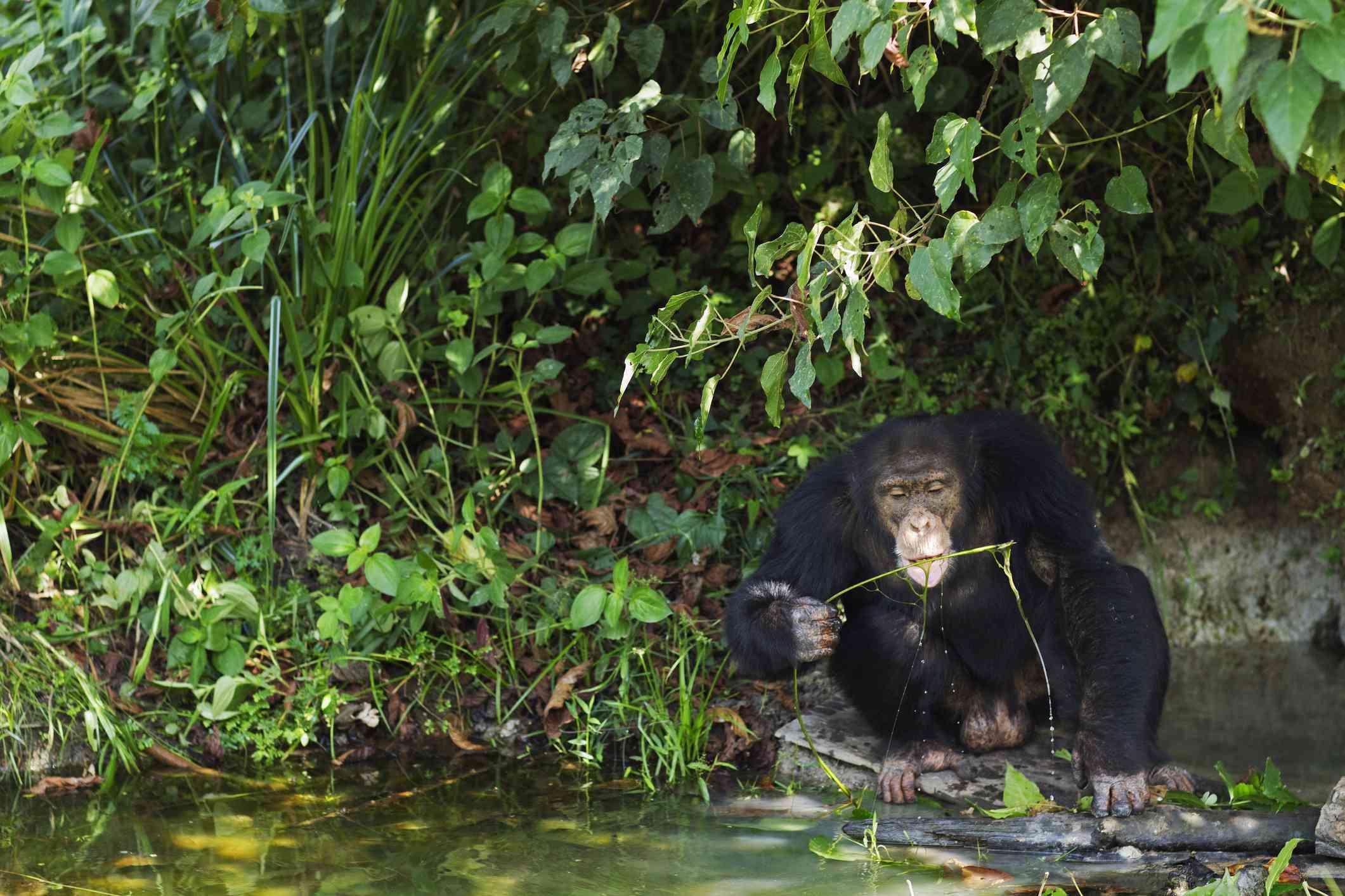 Western chimpanzee male using a tool