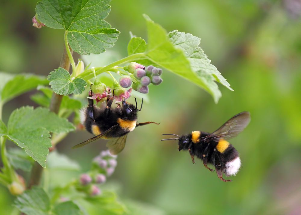 bumblebees at flowers