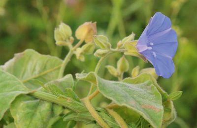 Jacquemontia cumanensis.