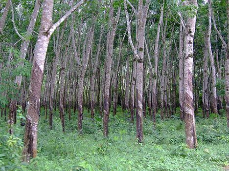 rubber plantation thailand photo