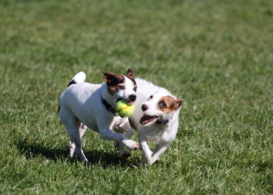 2 jack russell terriers at the dog park