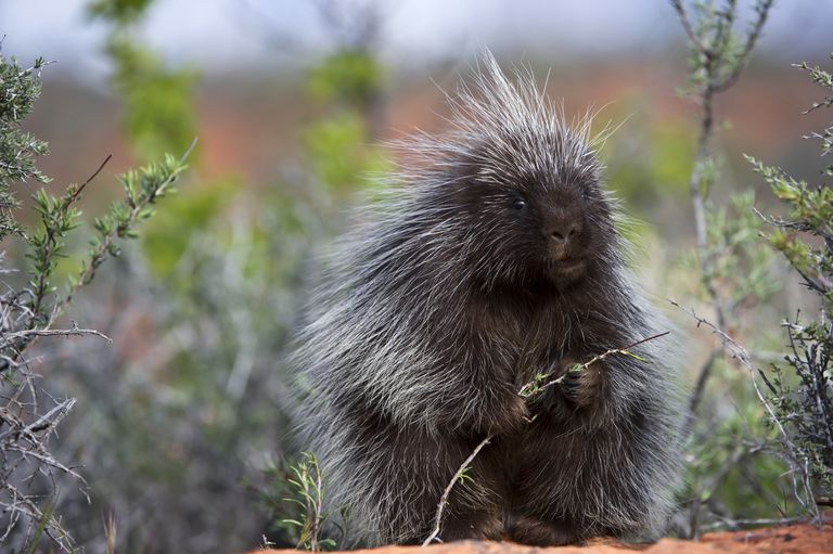 A North American porcupine in Utah's Zion National Park.