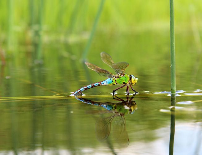 A dragonfly sits on the water's surface