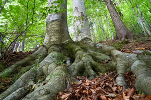 looking up at large mature trees with very thick exposed long roots