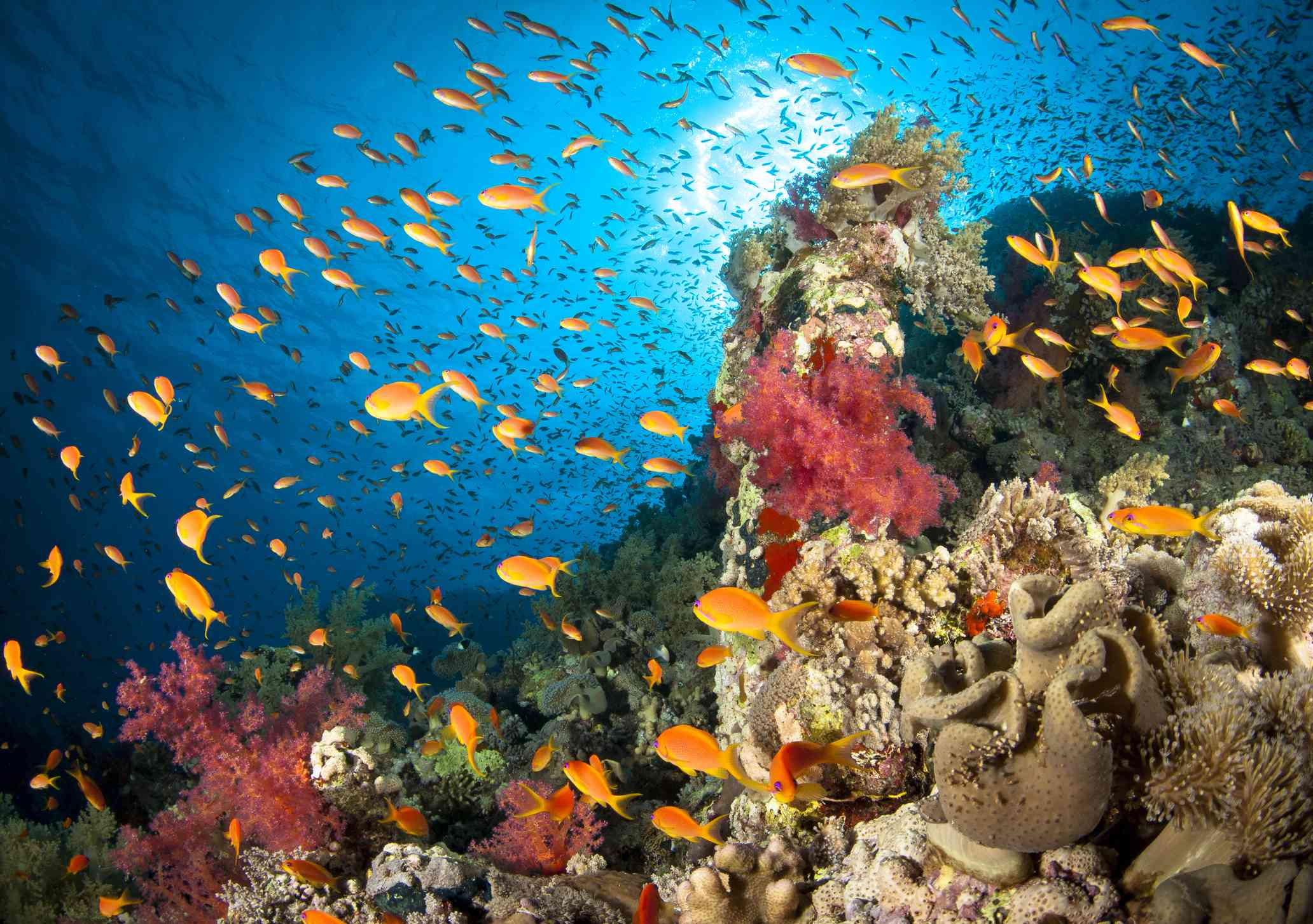 a reef teeming with orange fish amidst a variety of red, green, and tan hard and soft corals with the bright blue Red Sea above
