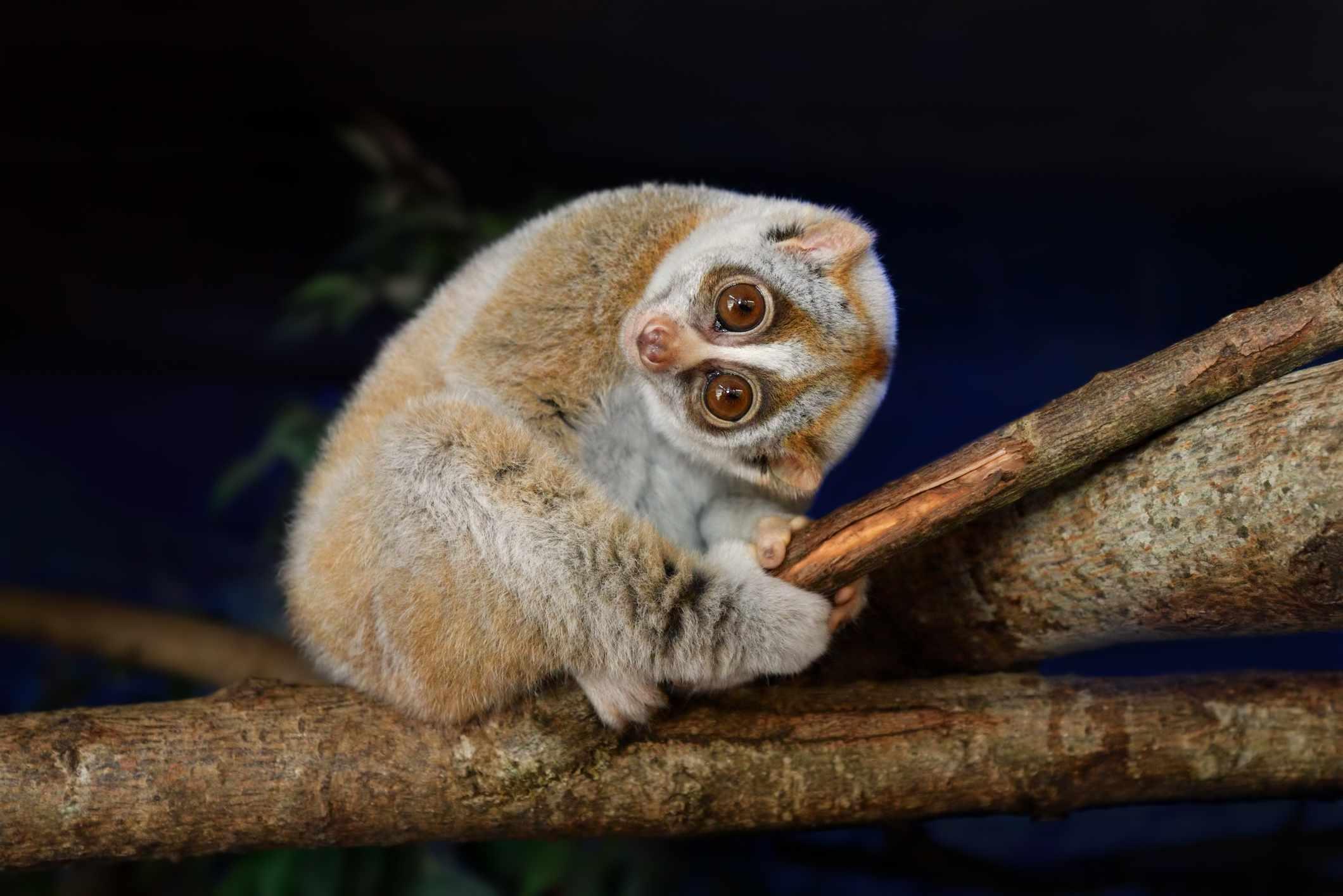 slow loris on a branch