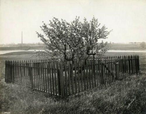 endicotte pear tree photo