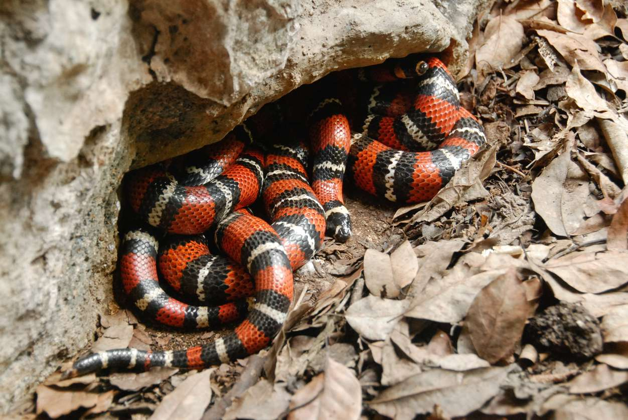 Scarlet Kingsnakes have evolved to mimic the color pattern of venomous coral snakes in order to avoid predation.