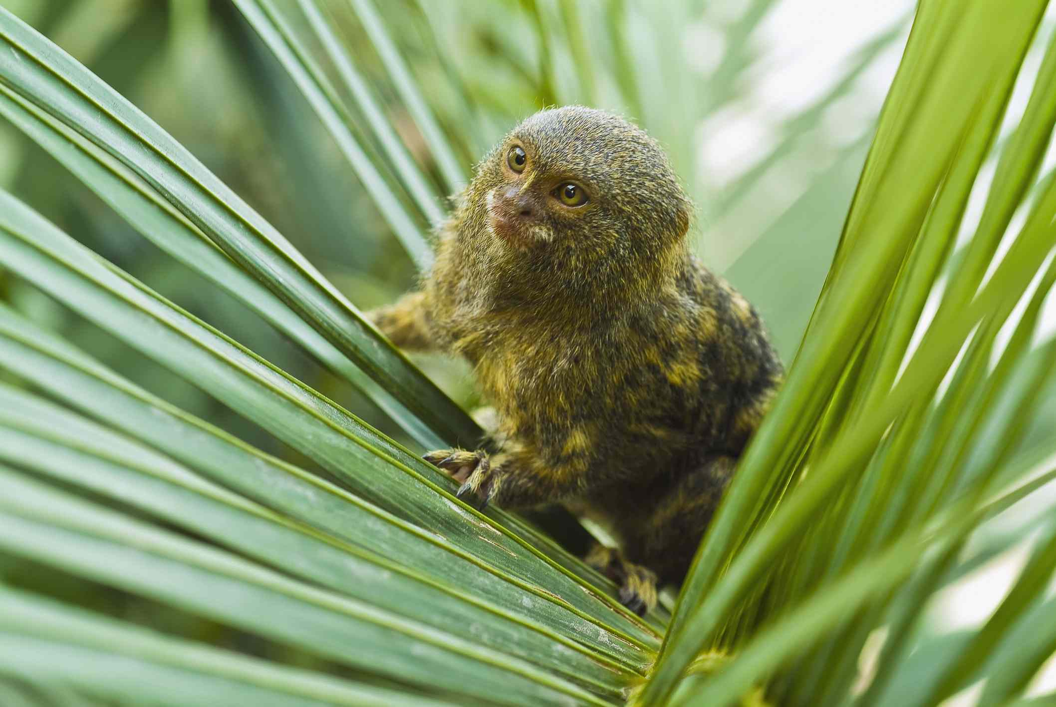 pygmy marmoset in a palm frond