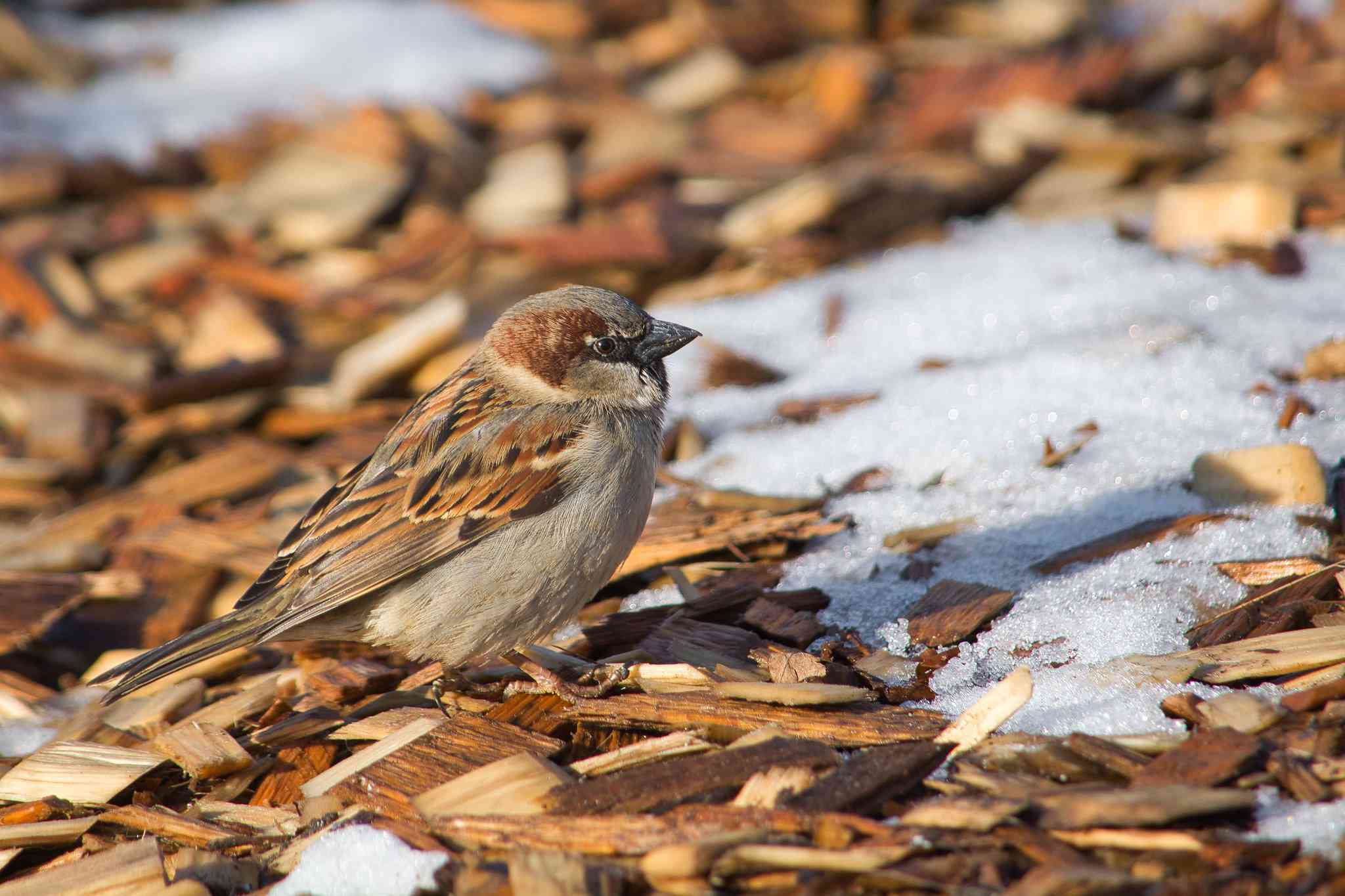 Sparrow sitting on the mulch-covered ground with some patches of snow