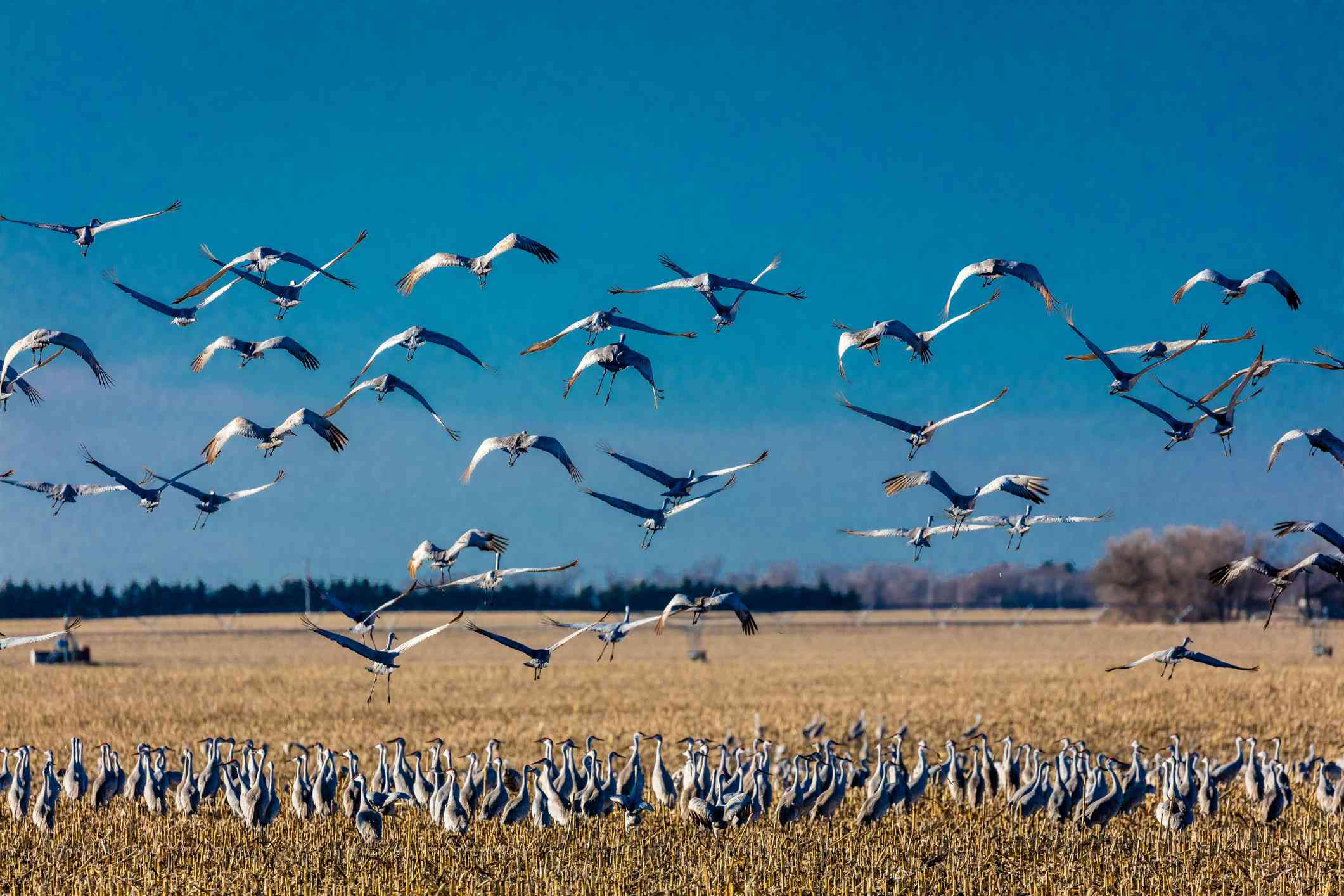a large flock of sandhill cranes standing in a cornfield, while others take flight over the cornfield with a bright blue sky in the background in Platte River, Nebraska