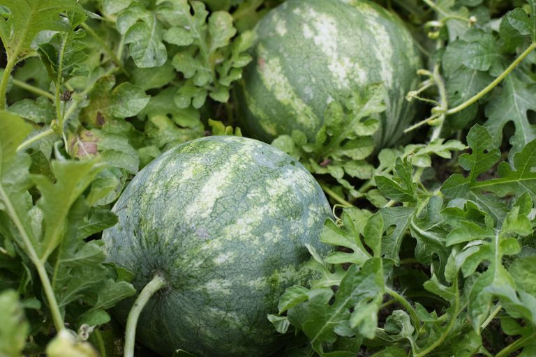 ripe watermelons growing outside in cluster of vines